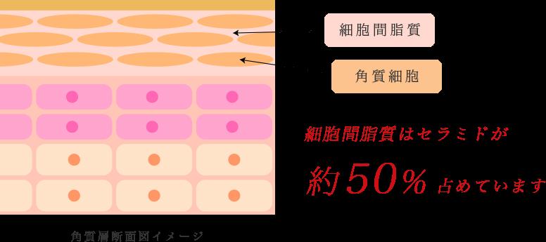 細胞間脂質はセラミドが約50%占めています